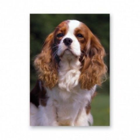 King Charles Cavalier Blenheim greetings card with plain background